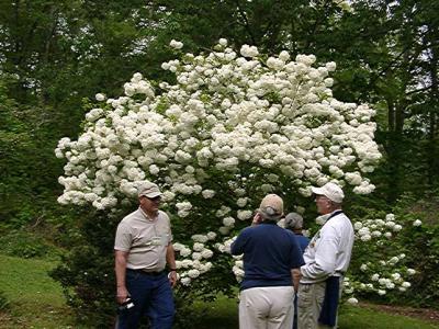 Buddy Lee and the McDavits, Viburnum macrophylla (Snow Ball Bush)