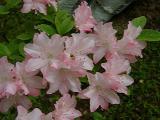 'Pink Augusta'