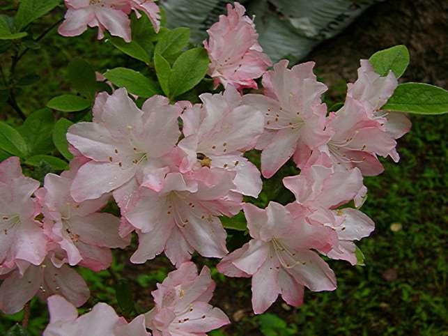 Pink Augusta