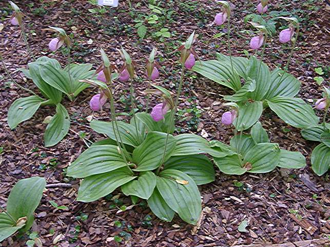 Cypripedium acaule (Pink Lady Slipper)