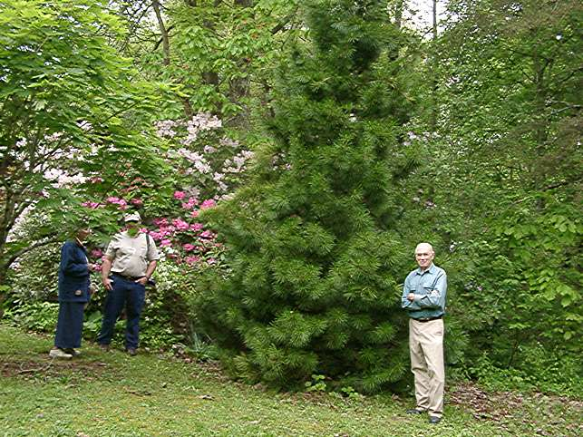Margie Jenkins, Buddy Lee, Sciadopitys verticillata, Robert Enck