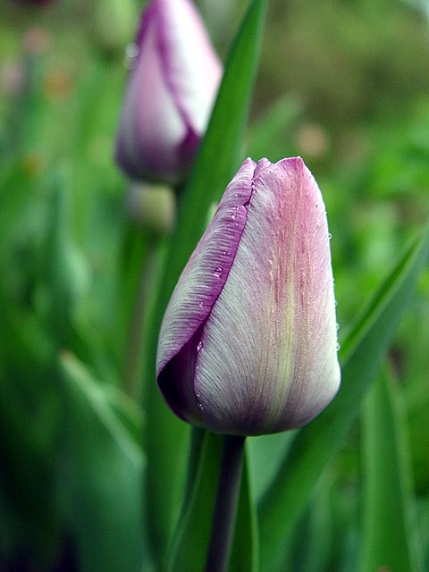 Lavendar Tulip