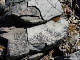 Plant Impressions On Rocks - II