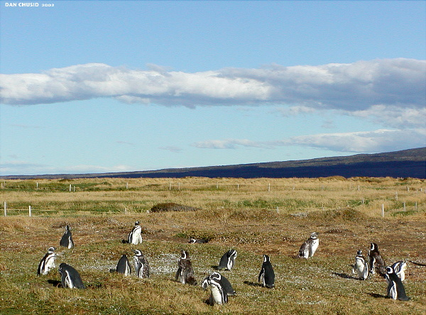 Penguin Colony - II<br>Punta Arenas, Chile