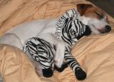 abby-sleeping.jpg