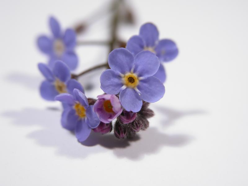Forget-me-not: standard CP5700 macro