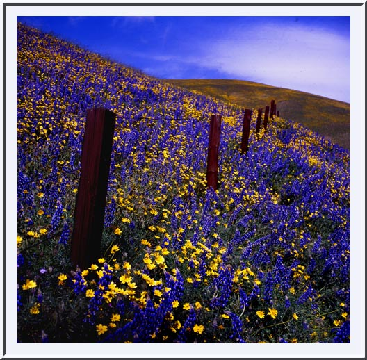 Wildflowers near Gorman, Old Ridge Route
