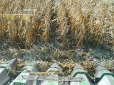 Start of corn harvest Oct.JPG