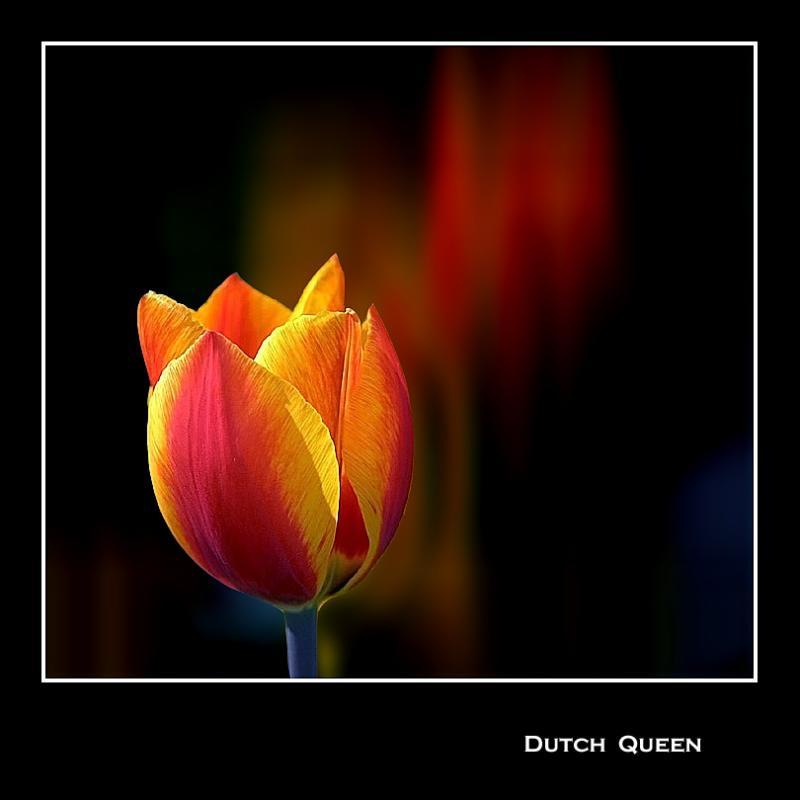Dutch queen