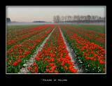 Lisse tulip field