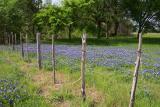 Bluebonnets near Grandbury