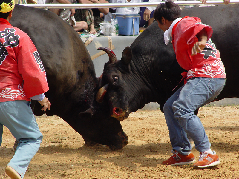 Bull that attacked me is on the right (2,200 lbs.)