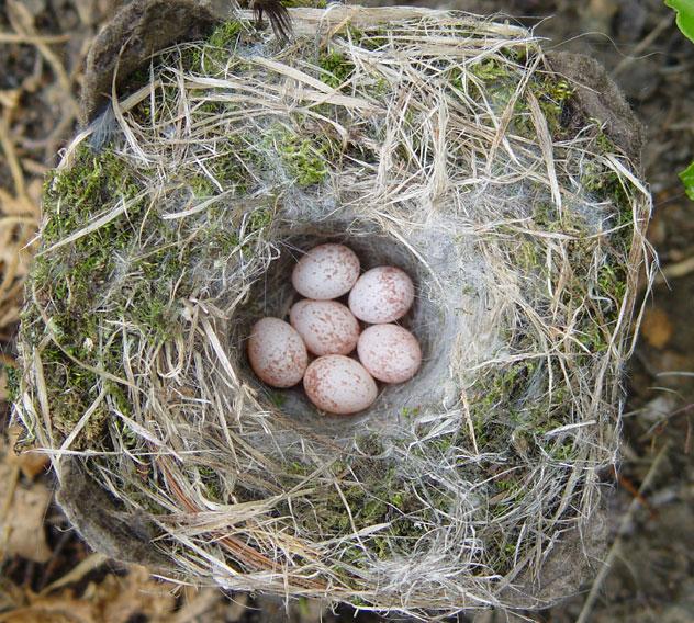 Carolina Chickadee Nest