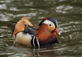 Mandarin Duck .jpg