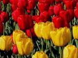 Ottawa - International Tulip Festival