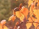 birch leaves 9234.JPG