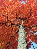 red maple 4672.jpg