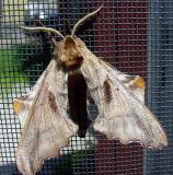 blinded sphinx moth