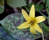 trout lily 2697b.jpg