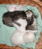 Kittens on May 1, 2003, almost vour weeks old.
