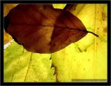 Back lit Leaves