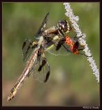 Dragonfly Eating a Ladybug 2
