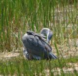 Young Great Blue Heron I