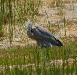 Young Great Blue Heron III