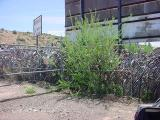 host bush for all the black butterflys at all bikes in Rye Arizona