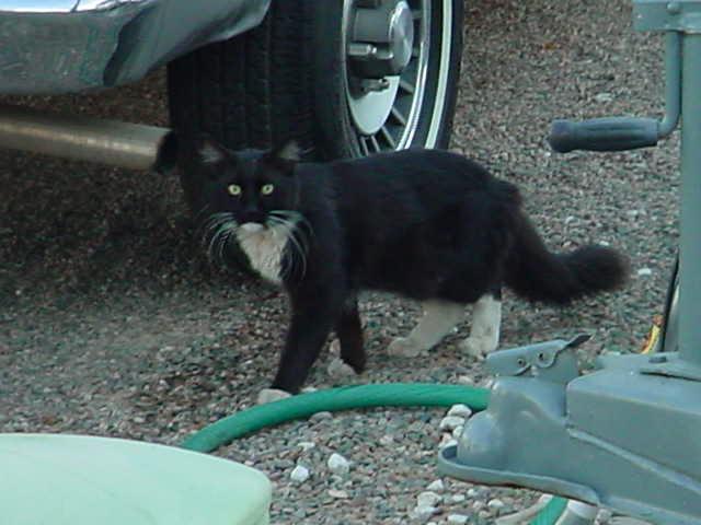 Smokeys  friend, black and white cat named Spookey