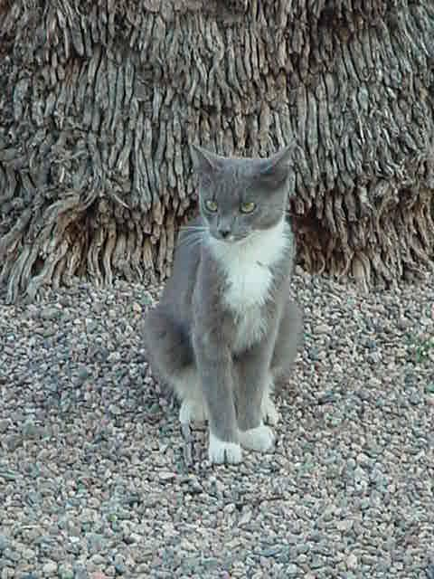 beautiful gray & white<br>cat named Smokey