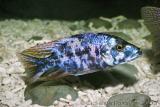'OB' Dimidiochromis compressiceps