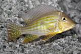 Geophagus sp 'Rio Areoes'