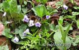 Common Blue Violet-N