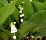 Lily Of The Valley-N