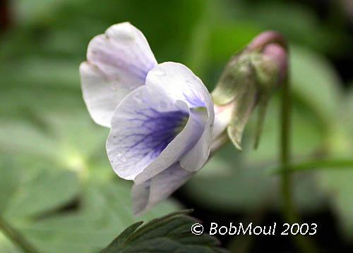 Common Blue Violet Flower-N