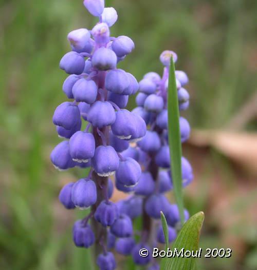 Grape Hyacinth Flower-N