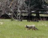 Coyote pursues lunch