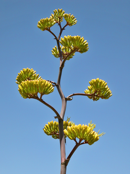 Agave (century plant)