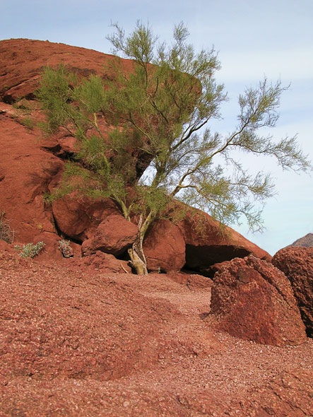 Camelback tree and rocks