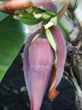 Young bananas (Musa  x  paradisiaca)