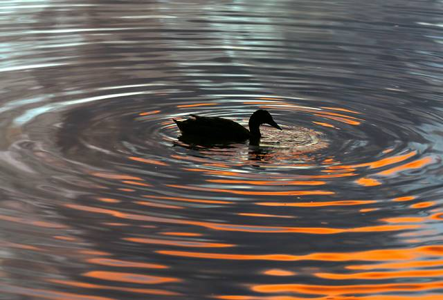 Duck in circle at sunset