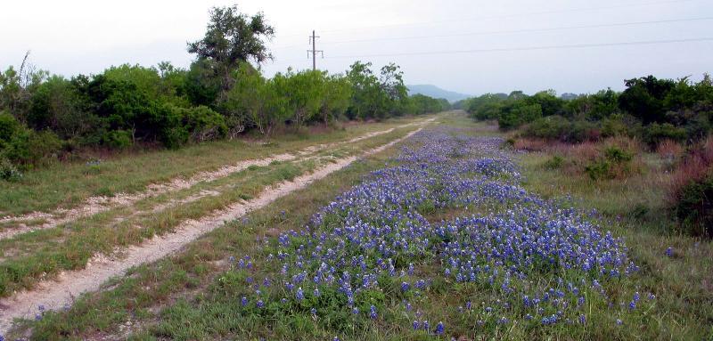 Spring Bluebonnets - April, 2003