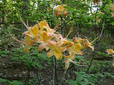 Roan Mountain seedling