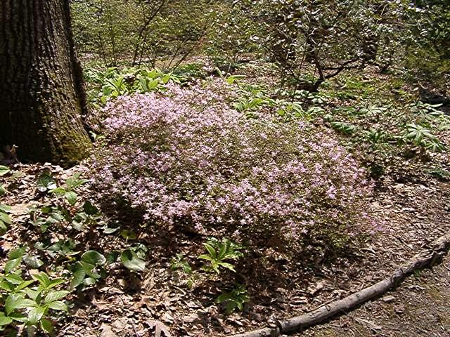 <i>serpyllifolium</i>