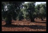 near Cisternino
