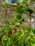 Cranberry flower