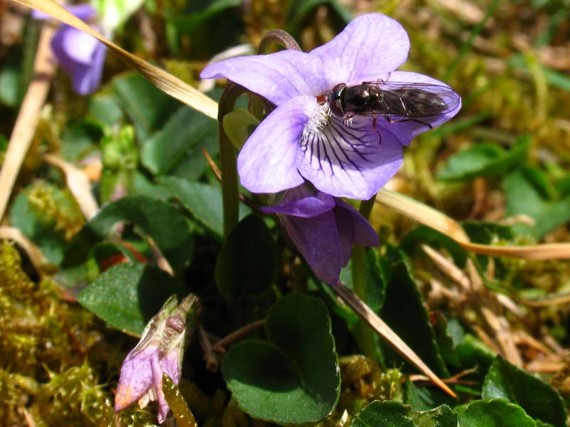 Insect on Viola