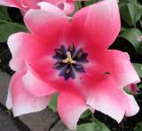 TulipCenter Red/Purple