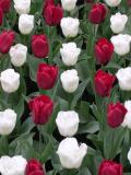 Red&White Tulip Rows